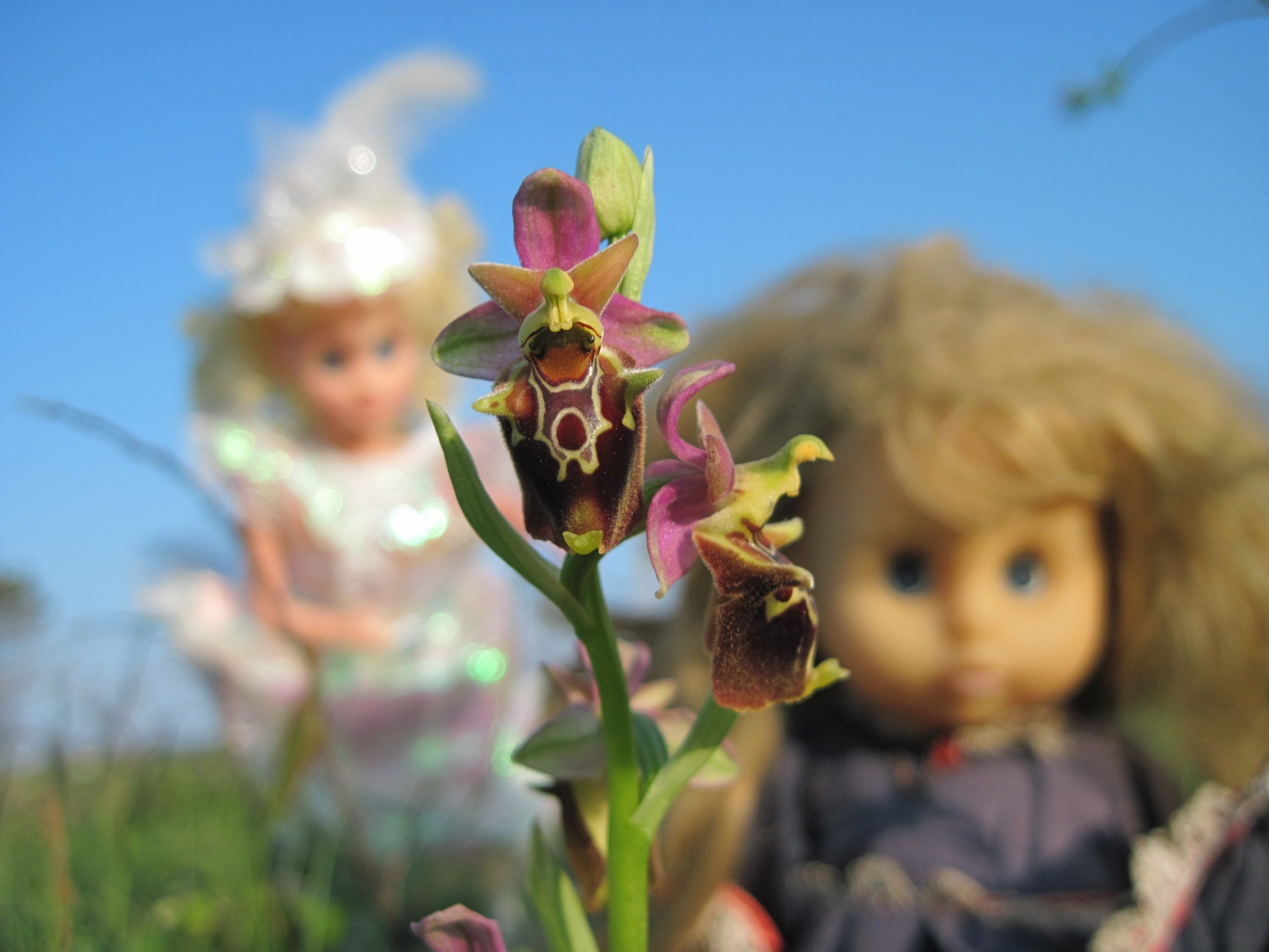 Ophrys-apulica-salento-kaliani-trip
