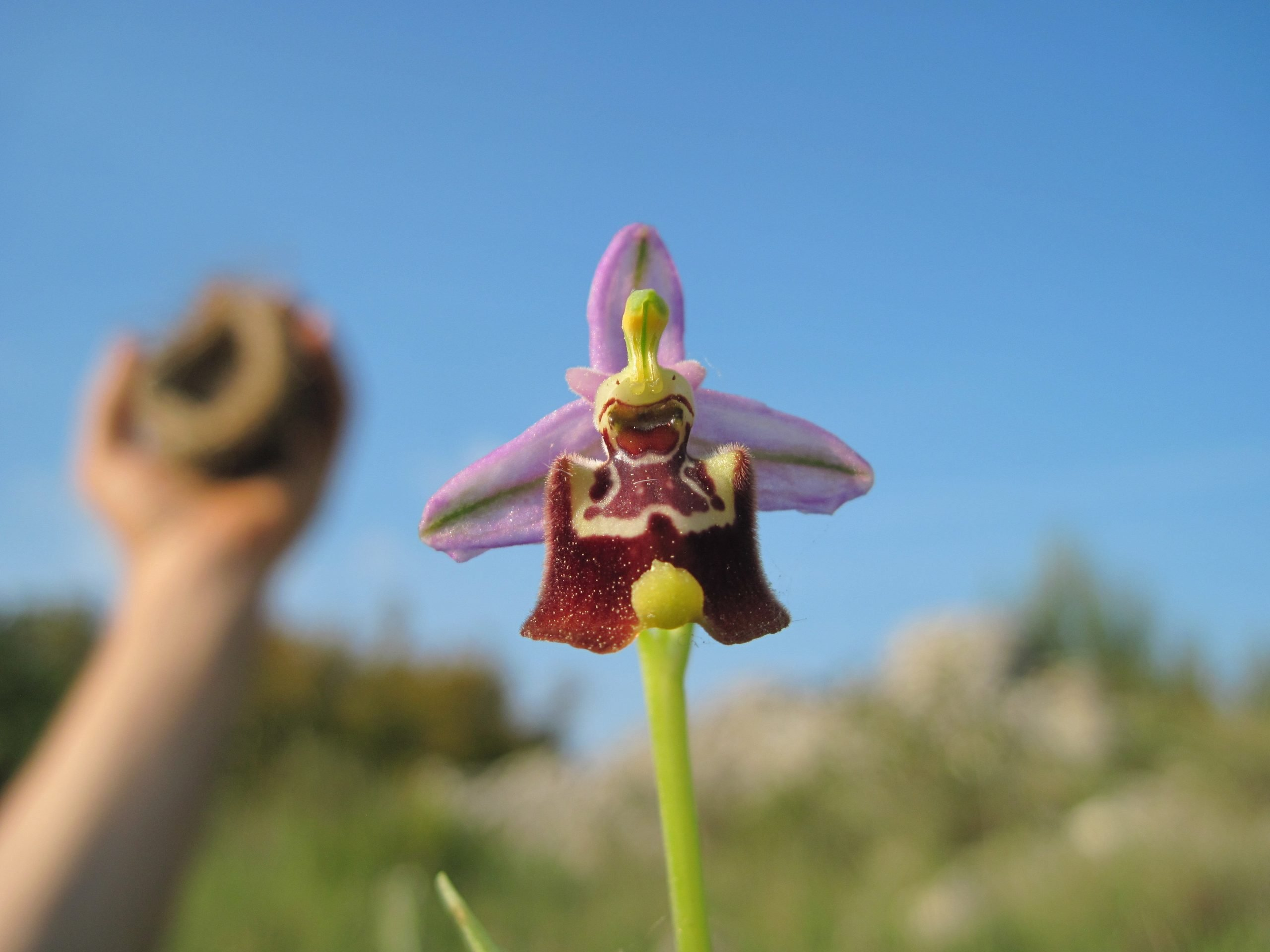 Ophrys-Candica-salento-kaliani-trip